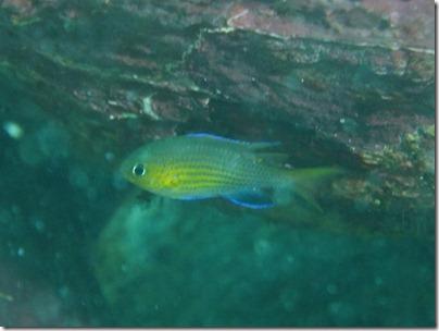 ヒメスズメダイの幼魚