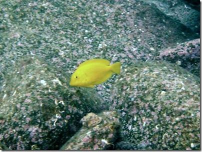 モンツキハギの幼魚
