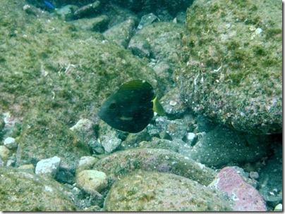 ニセカンランハギの幼魚