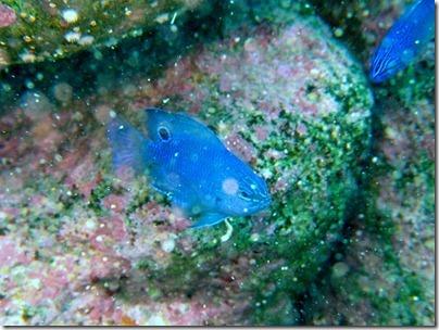 ナガサキスズメダイの幼魚