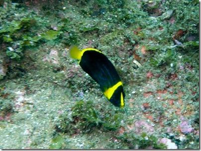 キンチャクダイの若魚