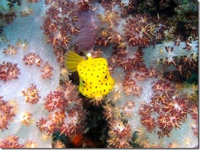 ミナミハコフグの幼魚