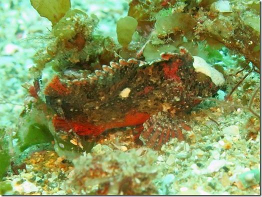 ハオコゼの幼魚