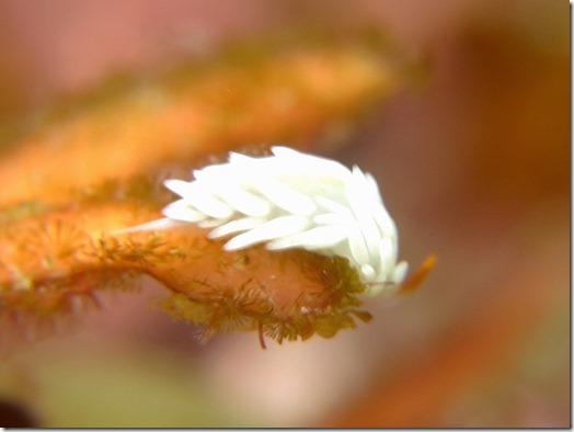 ミノウミウシ上科の1種