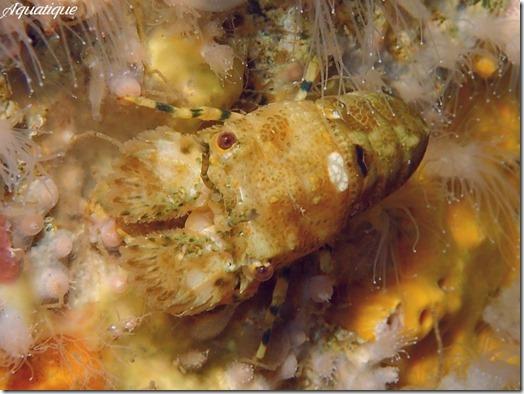 キタンヒメセミエビ