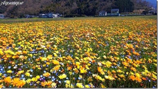 田んぼを使った花畑