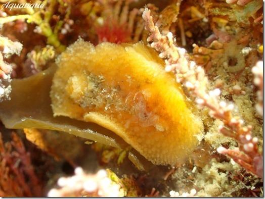 サンカクウミウシ