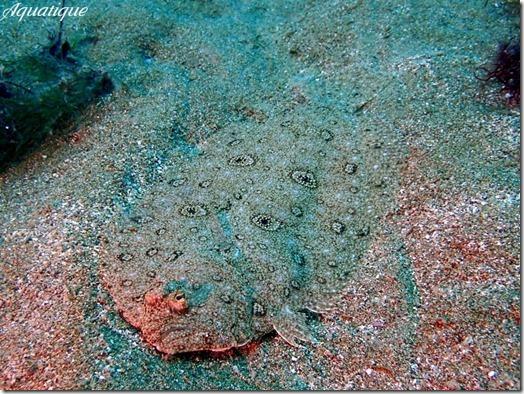 タマガンゾウビラメ