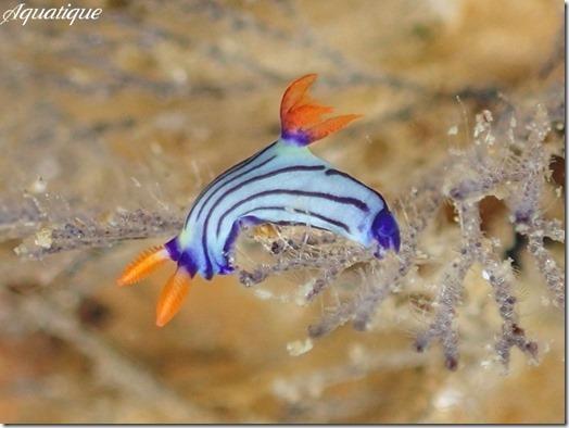 クロスジリュウグウウミウシ属の1種5