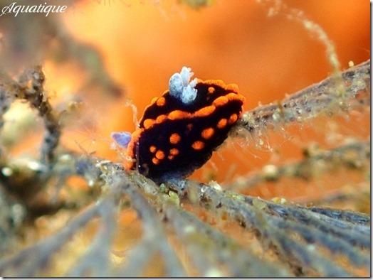 クロスジリュウグウウミウシ属の1種