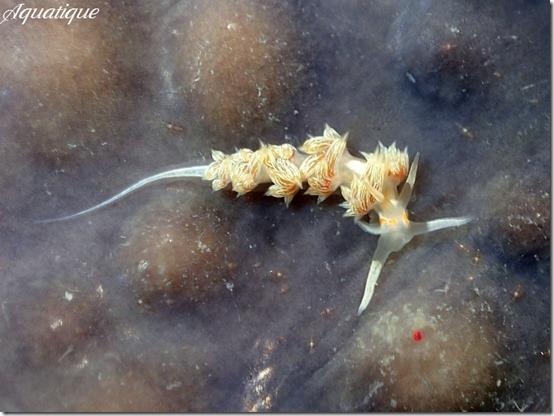 ニセハクセンミノウミウシ