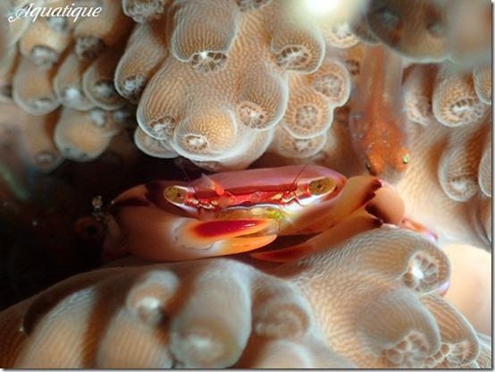 ヒメサンゴガニsp