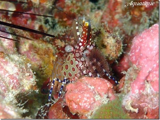 サンゴモエビsp