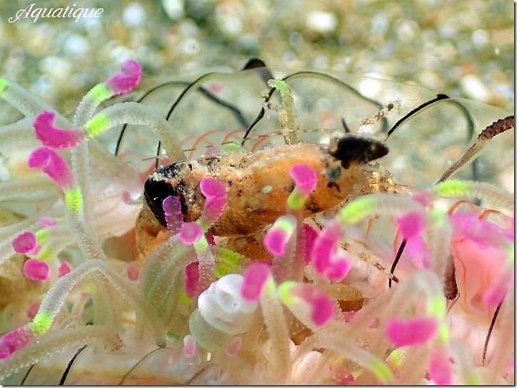 コブタヒラツノモエビ